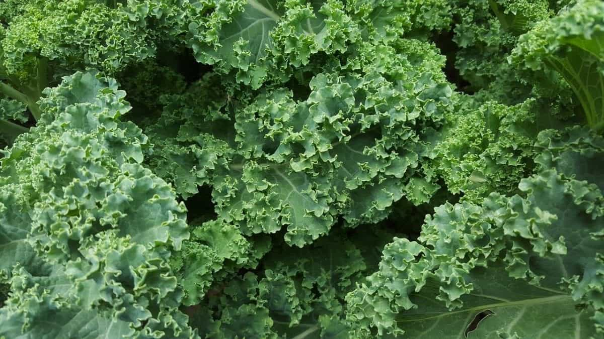 How Do You Freeze Kale